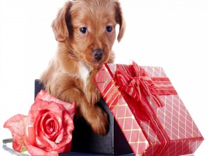 Postal: Perrito en una caja de regalos, junto a una rosa