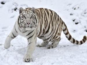 Un joven tigre blanco en la nieve