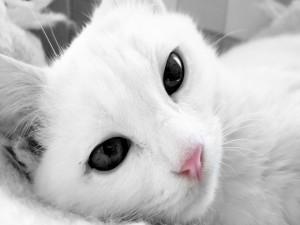 Gato blanco y ojos negros