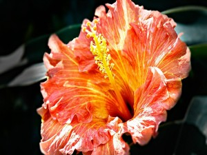 Postal: Gran flor de hibisco
