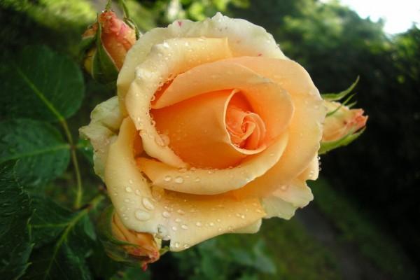 Una bonita rosa con gotas de rocío