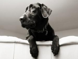 Perro negro sobre el sofá blanco