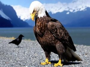 Águila sobre las piedras en compañía de un cuervo