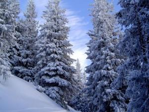Postal: Grandes pinos nevados