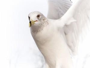 Postal: Gaviota blanca