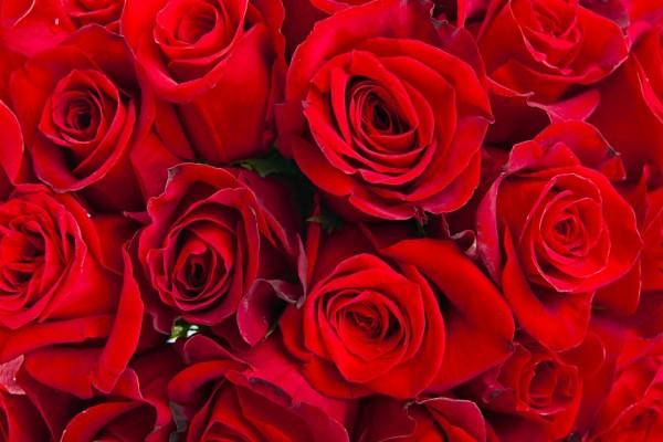 Pimpollos de rosas rojas