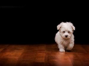 Postal: Perrito blanco caminando