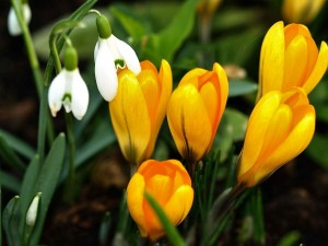 Postal: Fresias amarillas y otras florecillas