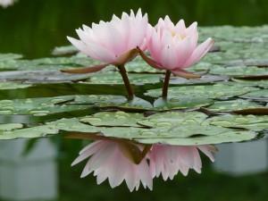 Flores reflejadas en el agua