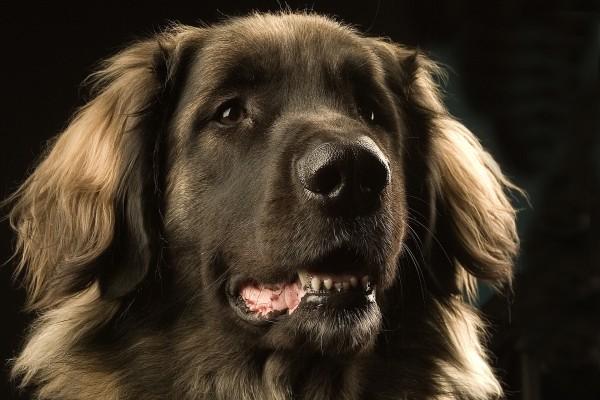 La cara de un perro