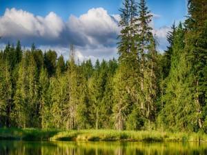Postal: Árboles verdes reflejados en el agua