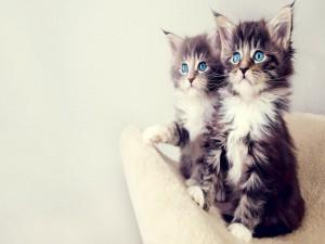 Postal: Dos preciosos gatos de ojos azules