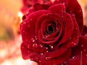 Postal: Gotas de agua entre los pétalos de la rosa