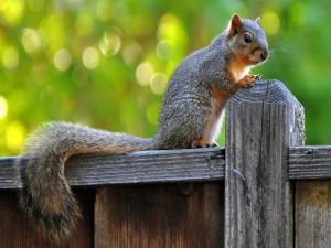 Ardilla en la valla de madera