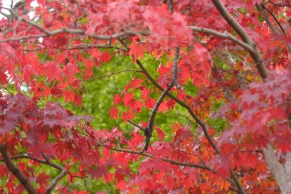 Hojas rojas en el árbol