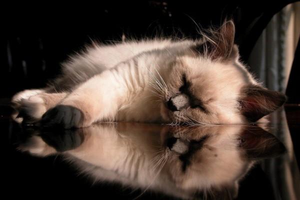 Gato siamés dormido