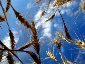 Postal: Espigas de trigo y el cielo