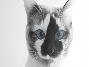 Postal: Gato con ojos azules y mancha negra y blanca en la cara