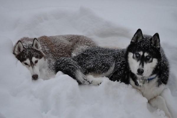 Perros tumbados en la nieve