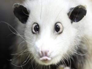 Postal: Animal con ojos saltones y lengua fuera