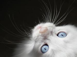 Gato mirando arriba con sus ojos azules