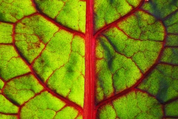 Hoja verde y nervadura roja