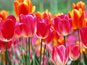 Postal: Tulipanes de colores plantados