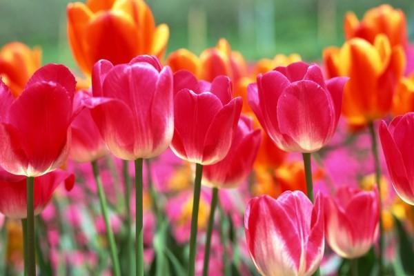 Tulipanes de colores plantados