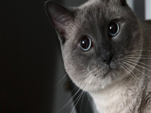 La cara de un simpático gato