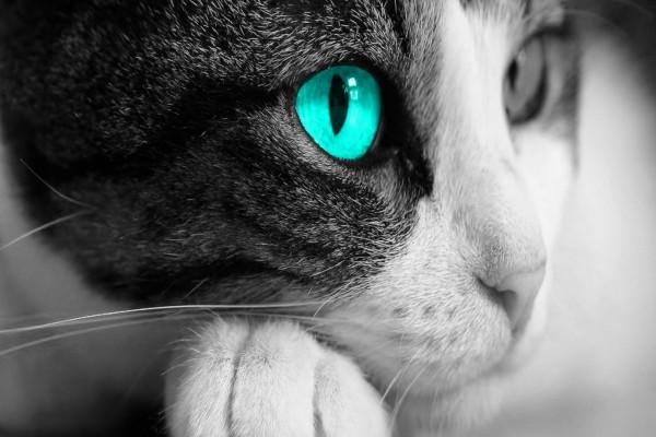 El ojo azul del gato