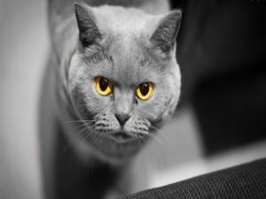 Los ojos amarillos de un gato