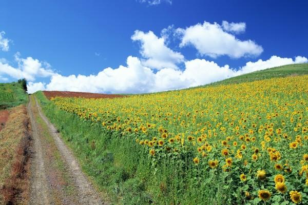 Camino junto al campo de girasoles