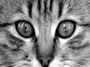 Los ojos y nariz del gato
