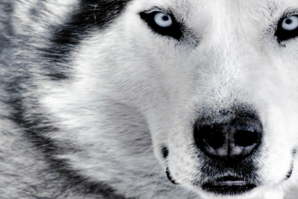 La cara de un husky
