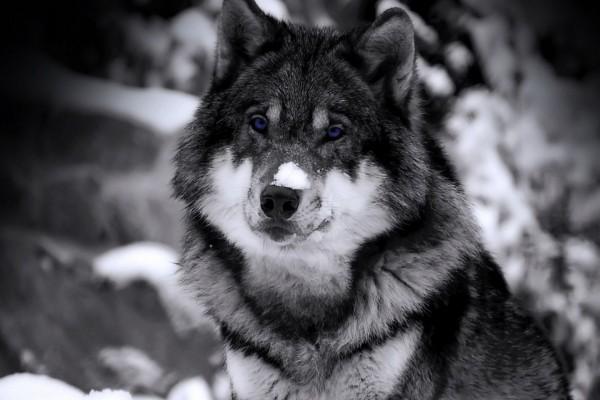 Lobo con nieve en el hocico
