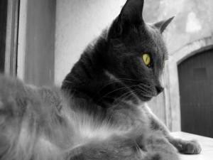 Gato en blanco y negro con los ojos amarillos