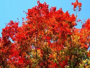 Postal: Gran árbol con hojas rojas