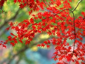 Postal: Ramas con bonitas hojas rojas