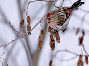 Pájaro con cabeza roja en la rama