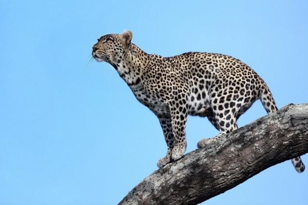Leopardo en Tanzania (África)