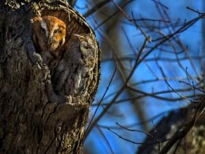 Postal: Dos búhos en el hueco de un árbol