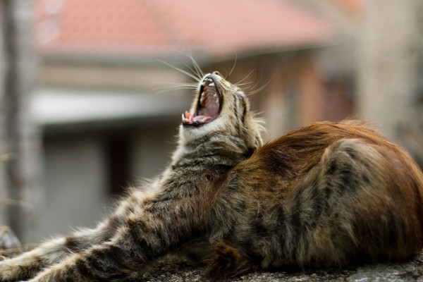 Gato bostezando sobre una piedra