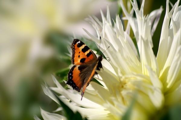 Mariposa acercándose a los pétalos de la flor