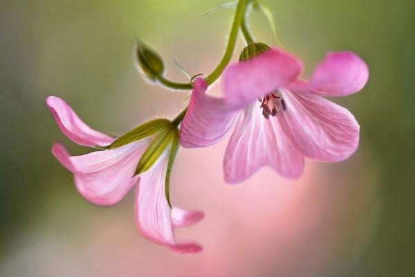 Geranios rosados