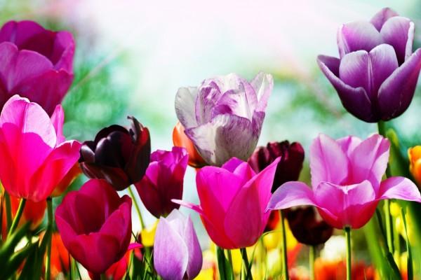 Tulipanes con bonitos colores