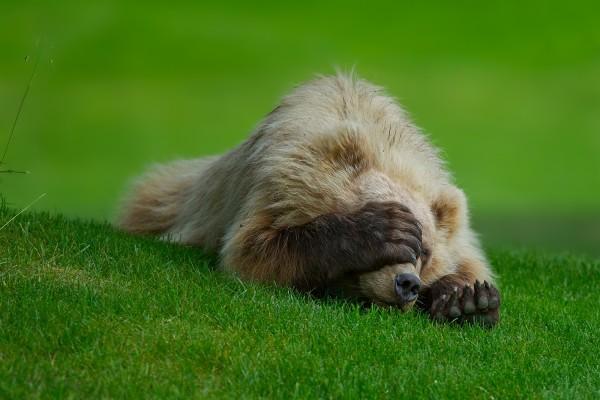 Oso tapándose la cara sobre la hierba