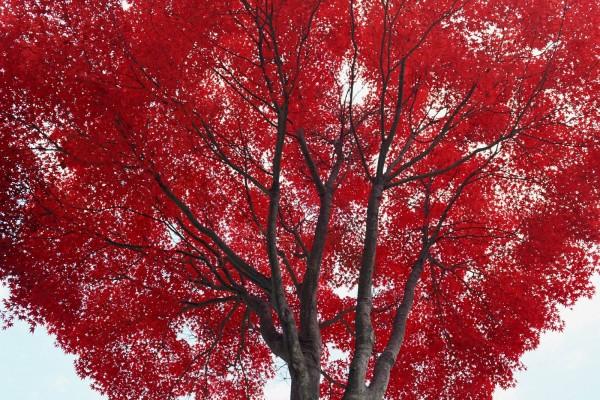 Un gran árbol con hojas rojas