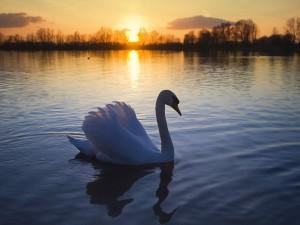 Elegante cisne paseando en el lago al atardecer