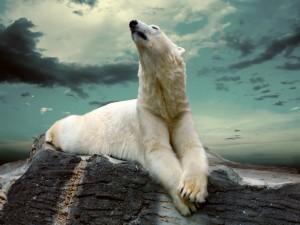 Postal: Oso polar descansando sobre una roca