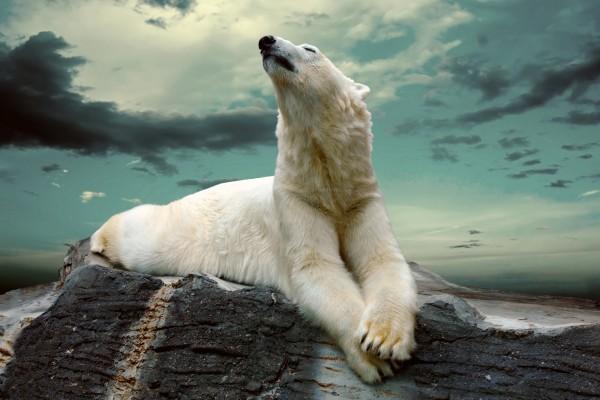 Oso polar descansando sobre una roca